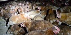 Still from DxE's Petaluma farms investigation video