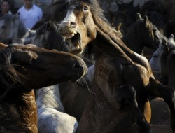 "The Guardian replaced the above photograph, which was captioned ""Overcrowding on the frontiers of the American west could lead to a depletion of natural resources for wild horses"" but turned out to be a photograph of horses at the rapa das bestas in Sabucedo, Spain. (photo: Miguel Riopa/AFP/Getty Images)"