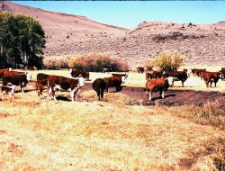 Mckee cattle in meadow - Oct. 1989