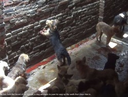 Paws red with blood, a dog in a Yulin slaughterhouse attempts to climb the walls that close him in.