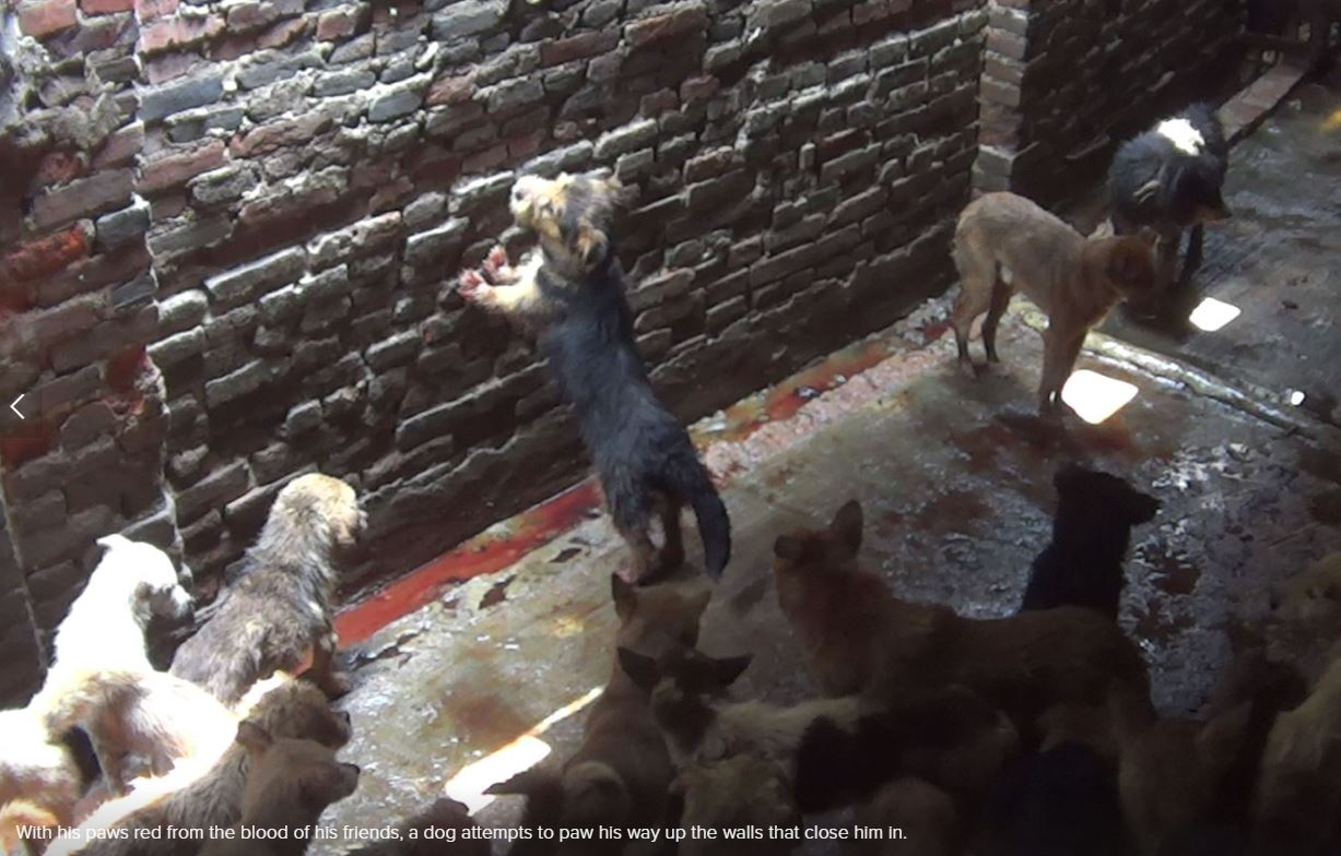 Investigating China's Infamous Dog Meat Trade | The Daily ... - photo#7